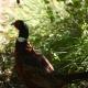 Faisà al refugi LPO del càmping ecològic a Occitània