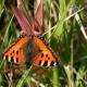Mariposa de la ortiga en el camping natural en Ariège