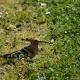 Wiedekopf im LPO-Vogelschutzreservat des Öko-Campings in Ariege
